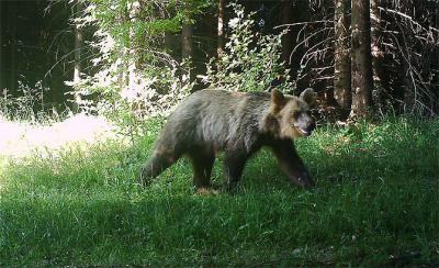 The bear Ema mostly keeps to the Slovak side of Javorníky