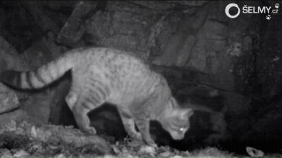 Wildcat – a new visitor of our camera traps in South Bohemia