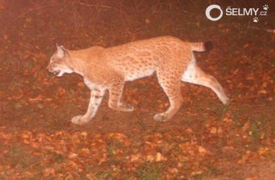 The first Eurasian lynx to cross from Silesian to Moravian-Silesian Beskydy