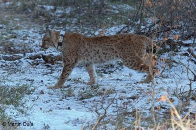 Telemetric monitoring of five lynx in the Beskydy Mountains