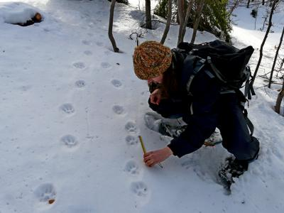 Participate in large carnivore monitoring in the Western Carpathians