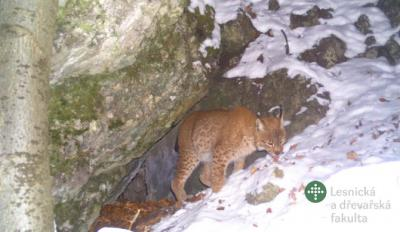 Telemetry monitoring used to study a lynx in the Moravian Karst