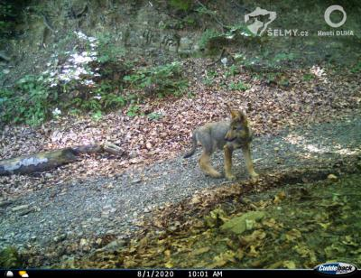 Young wolves spotted in the Czech Beskydy Mountains for the first time this spring