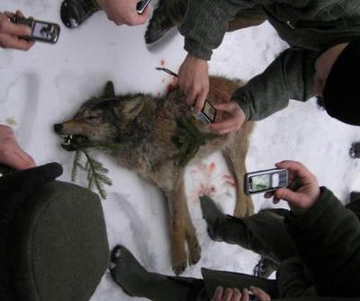 THE EUROPEAN COMMISSION CAN HELP WOLVES IN THE BESKYDY MOUNTAINS