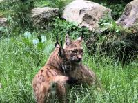 Habitat availability is not limiting the distribution of the Bohemian–Bavarian lynx population