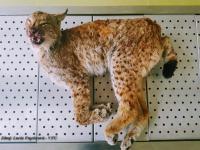 A dead lynx found on the highway near Brno