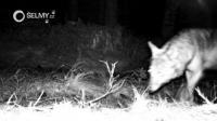 Launching the monitoring of large carnivores in Krušné hory: Will volunteers confirm the presence of wolves?