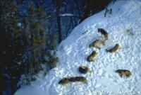 Numbers of wolves in the Beskydy Mountains continue to stagnate