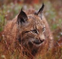 Czech project on large carnivore conservation won the international competition