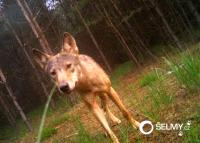 Confirmed: Wolf family in the Kokořínsko-Mácha's Region has grown also this year