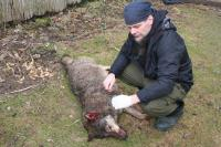 A wolf hit by car on the D1 highway