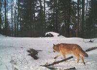 On the wolf track