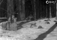 Modern history of the Eurasian lynx in the Bohemian Forest