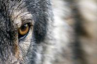 Big Bad Wolf or Man's Best Friend?