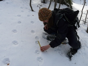 A volunteer documenting tracks of two lynx
