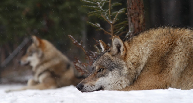 Grey wolves resting on snow