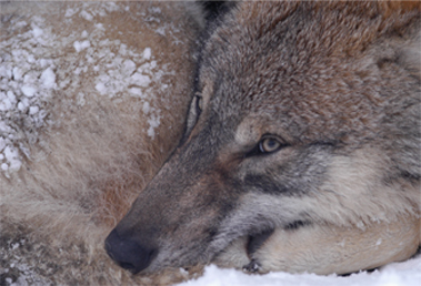 A close-up of wolf huddled against the cold